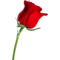 Danijela ♥´´¯`•.¸¸.Ƹ̴Ӂ̴Ʒ - Rose - Plants