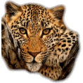 Lady Di ♕  - leopard - Animals