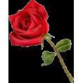 pasyflora - ruža - Plants
