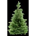 Tamara Z - Bor Pine - Plants