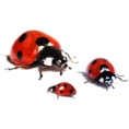 Tamara Z - Ladybird - Animals