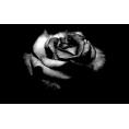 sanja blažević - Rose - Plants