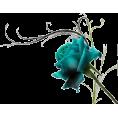 sanja blažević - roses - Plants
