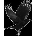 sanja blažević - ptica gavran - Animals