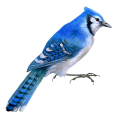 webmaster(s) @trendMe - blue birds ptica - Animals