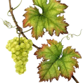 lence59 - Grapes Leaves - Plants
