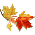 sandra  - Maple leaf - Plants