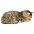 HalfMoonRun - Tabby brown cat sleeping - Animals