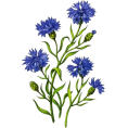 octobermaze  - cornflowers - Plants