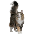 vespagirl - norwegian forest cat - Animals