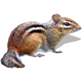 webmaster(s) @trendMe - Eastern Chipmunk - Illustrations