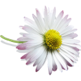webmaster(s) @trendMe - Sweet lil´ Daisy - Piante